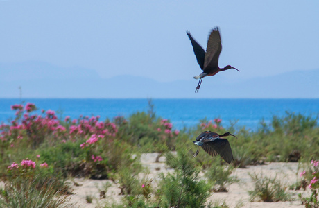 Zwarte Ibis Turkije (V-Z)