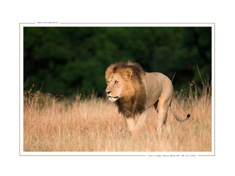 Lion Simba II, Kenia