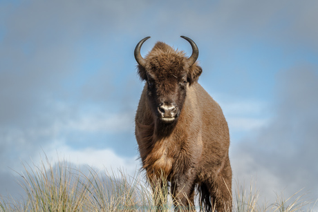 Land of the Bisons_Close encounter