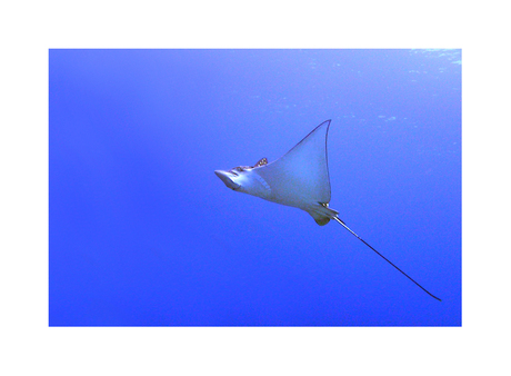 Eagle Ray in Bonaire