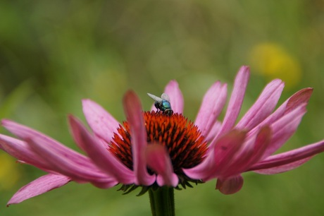 bloemmetvlieg