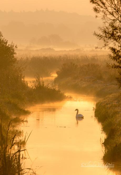 De zwaan in het gouden licht
