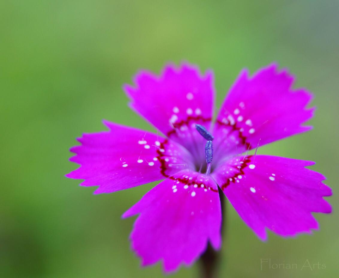 De steenanjer (Dianthus deltoides) - - - foto door Flo- op 24-06-2015 - deze foto bevat: roze, groen, paars, rood, macro, wit, bloem, lente, natuur, zwart
