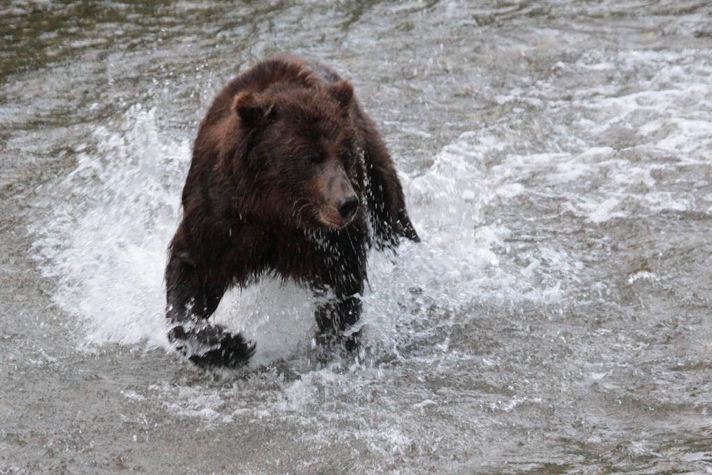 Grizzly Beer - Er is een plek in Alaska, vlak over de grens met Canada, waar je een fantastische mogelijkheid hebt om in de maand augustus de Grizzly beren kan zien - foto door dunawaye op 30-08-2011 - deze foto bevat: canada, beer, grizzly, stewart, Bruine Beer, Alaska Hyder