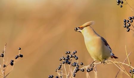 Pestvogel(2) - Omdat de pestvogel weer in Nederland gespot is en zelfs op het NPO journaal de aandacht kreeg nog een opname van deze mooie vogel,die ik vorig jaar k - foto door GerardvO op 05-01-2021 - deze foto bevat: natuur, vogel