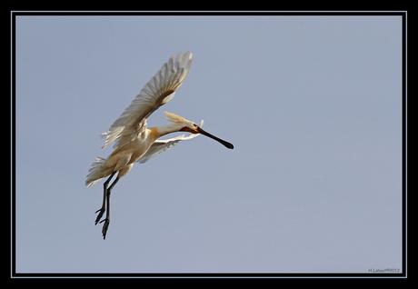 Lepelaar landing