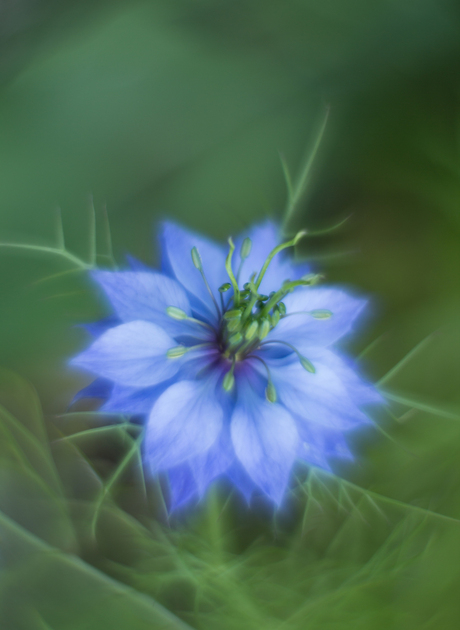 Love in a mist..