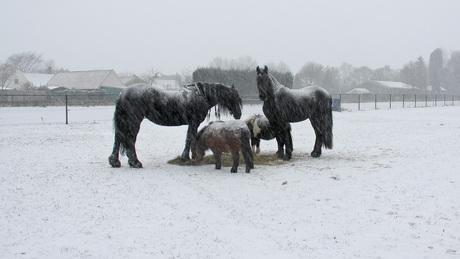 onze paarden in de sneeuw