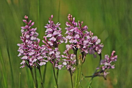 Purperorchis
