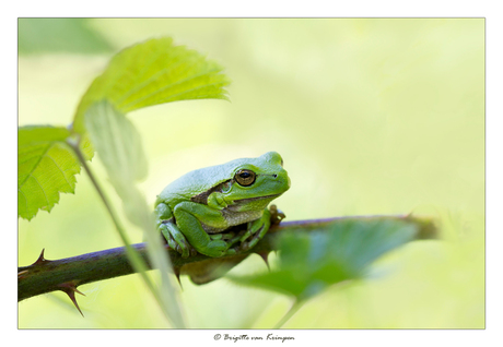 Groggy Frog