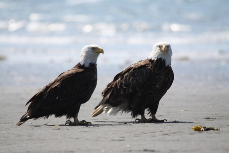 Bald Eagles , Homer