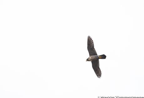Falco Peregrinus (Slechtvalk)HTI_2798