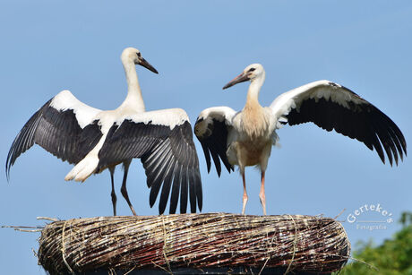 Dancing Young Storks