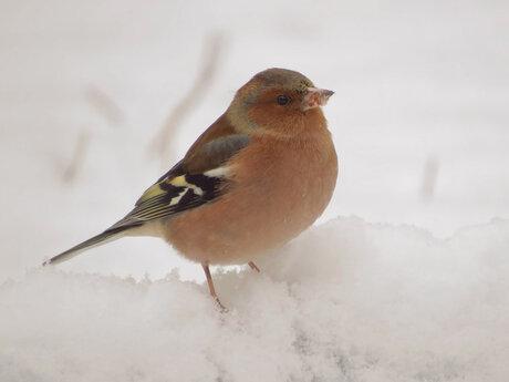 Vinkje in de sneeuw