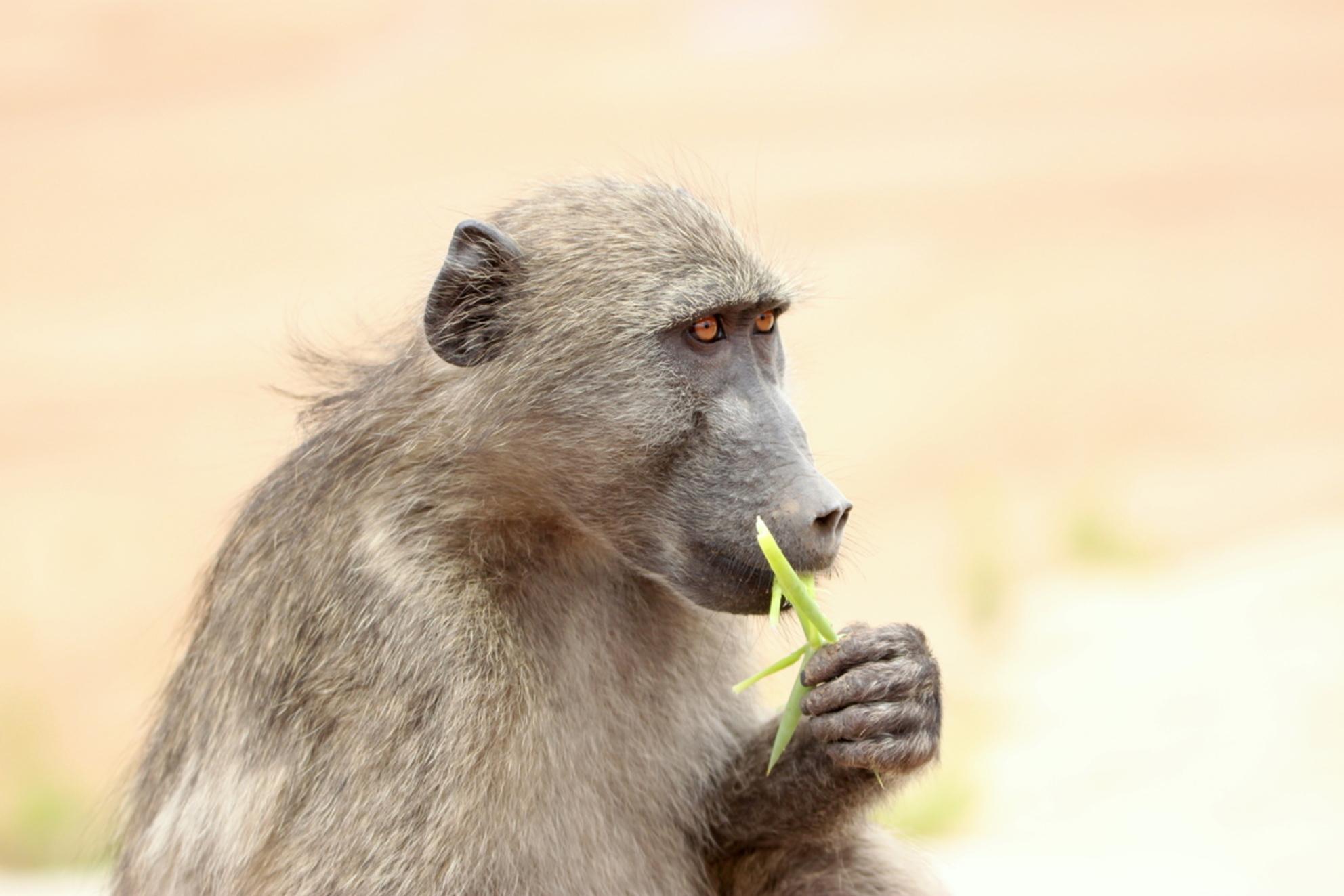 Baboon Zuid-Afrika - Baboon Zuid-Afrika - foto door Enschede op 13-02-2016 - deze foto bevat: safari, afrika, wildlife - Deze foto mag gebruikt worden in een Zoom.nl publicatie