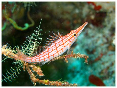 Spitssnuit koraalklimmer
