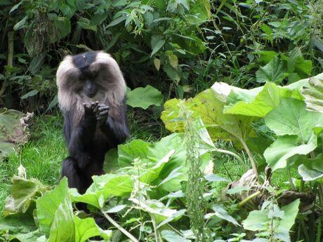 verveeld aapje