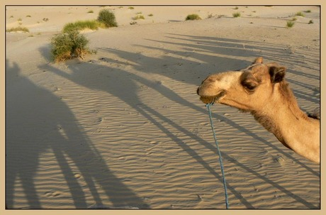 Hoeveel Kamelen