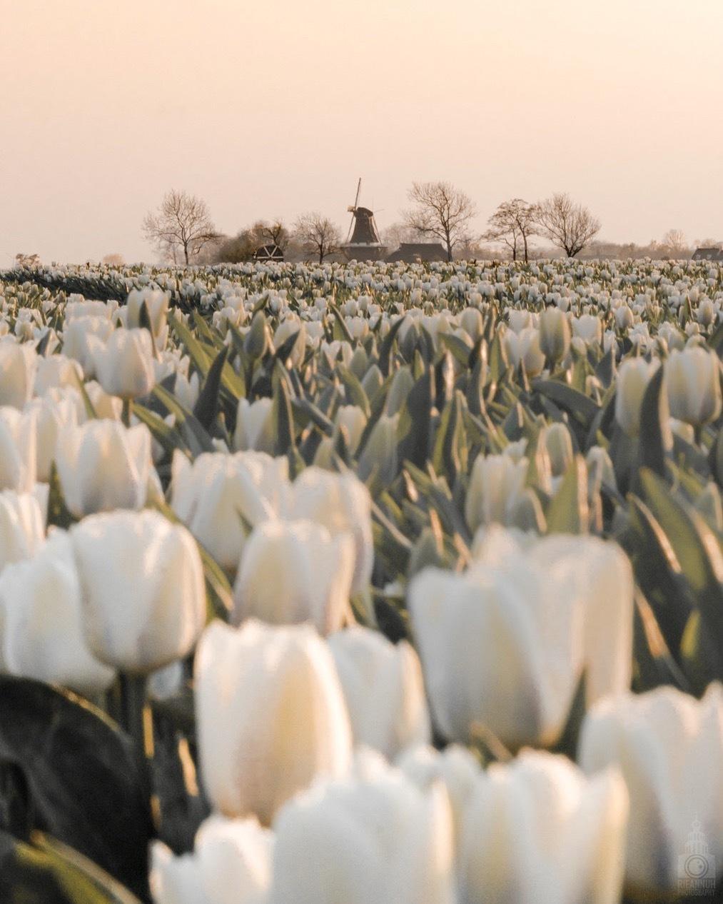 Tulpenveld - Tulpenvelden in Groningen - foto door Rieannuh op 22-04-2019 - deze foto bevat: wit, zon, tulpen, natuur, licht, avond, zonsondergang, bos, holland, nederland, pasen, tulpenveld, april