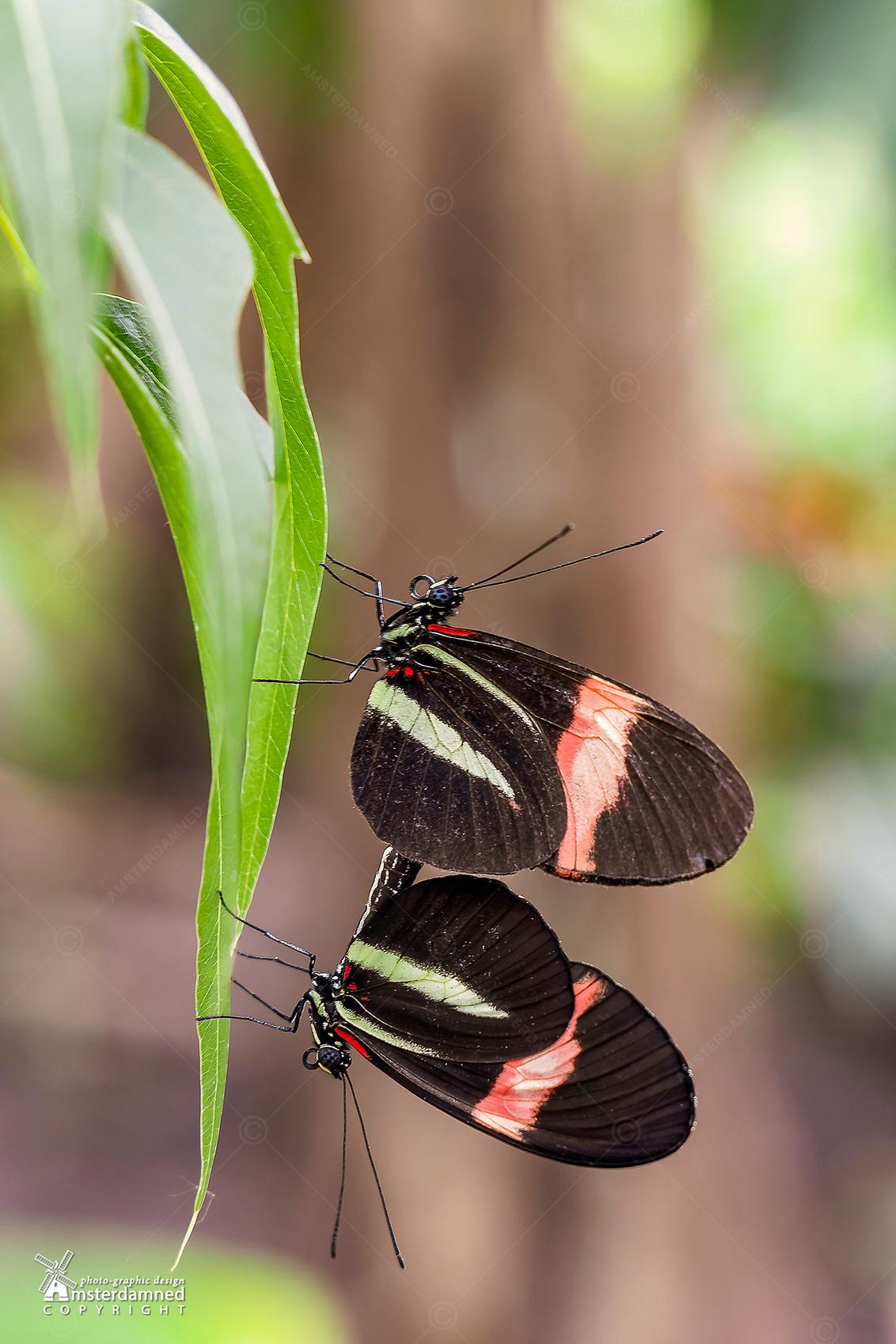 """Vlinders aan de Vliet - Parende Heliconius melpomene vlinders in der vlindertuin bij """"Vlinders aan de Vliet"""" in Leidschendam. - foto door amsterdamned_zoom op 28-11-2020 - deze foto bevat: macro, natuur, vlinder, vlinders, insect, holland, nederland, vlindertuin, leidschendam, amsterdamned, vlinders aan de vliet, Zuid Holland, parende vlinders, Heliconius Melpomene"""
