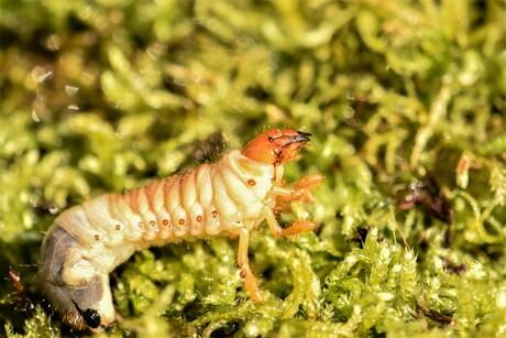 engerling larve