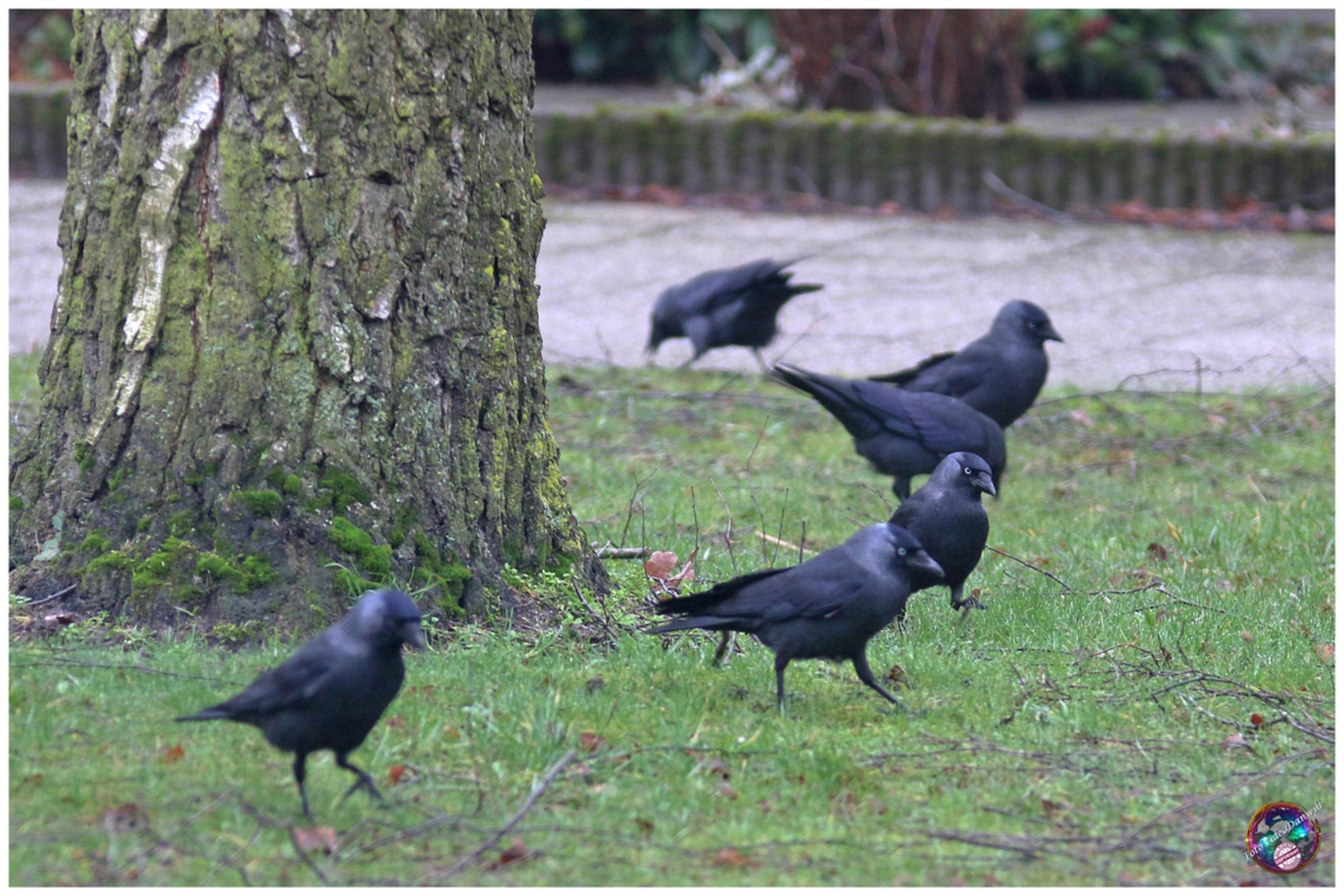 Jongens, hier is het ... - - - foto door willemdanker op 05-01-2019 - deze foto bevat: vogels, gevonden, kauwen, zeewolde