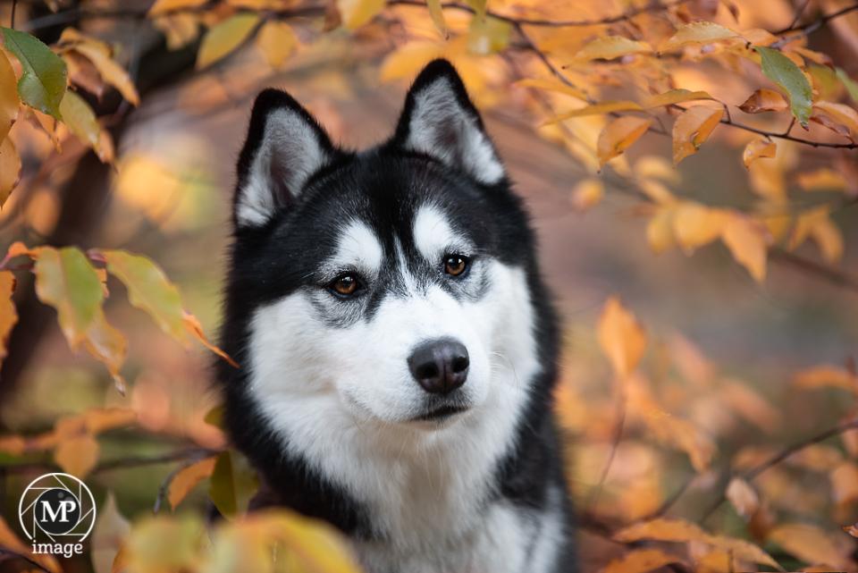 Husky Odin - Husky Odin in de prachtig gekleurde herfstbladeren. - foto door MarD7000 op 30-10-2018 - deze foto bevat: dieren, hond
