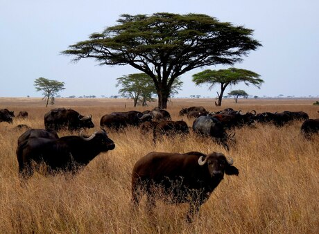 Buffels in Serengeti
