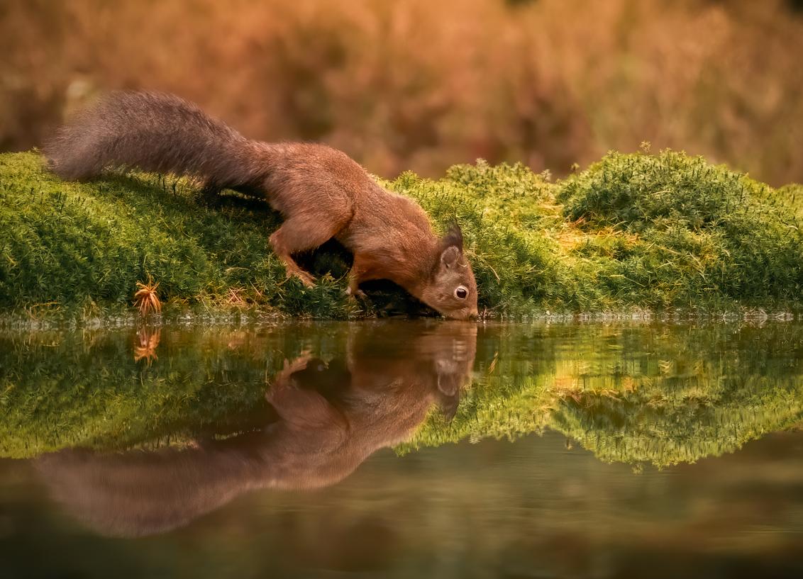 Spiegeltje, spiegeltje … - Foto is al weer meer dan een jaar geleden genomen vanuit een vogelhut. Ik kijk  enorm uit naar een volgende keer. Het is altijd zo verrassend en leuk - foto door Berthe2 op 05-03-2021 - deze foto bevat: spiegel, water, mos, eekhoorn, squirrel, boshut, berthe2