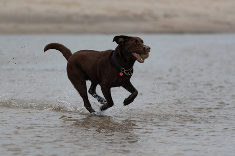 labrador op het strand