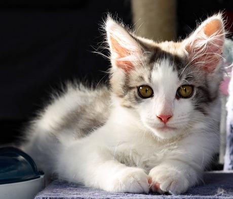 Maine coon kitten Dex