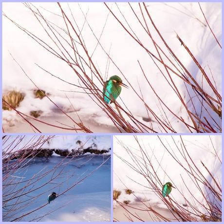 collage.jpg ijsvogel