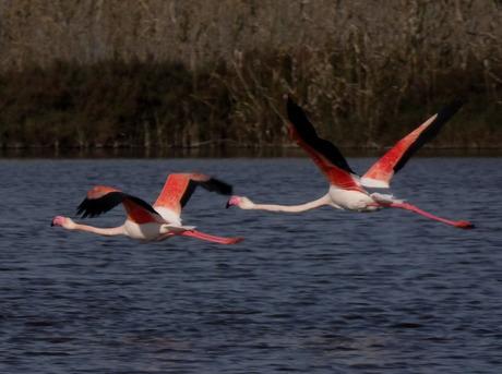 flamingo cerrillos roquetes 29-01-15