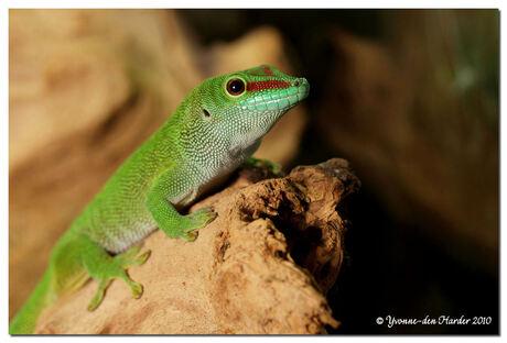 Madagaskar Gekko