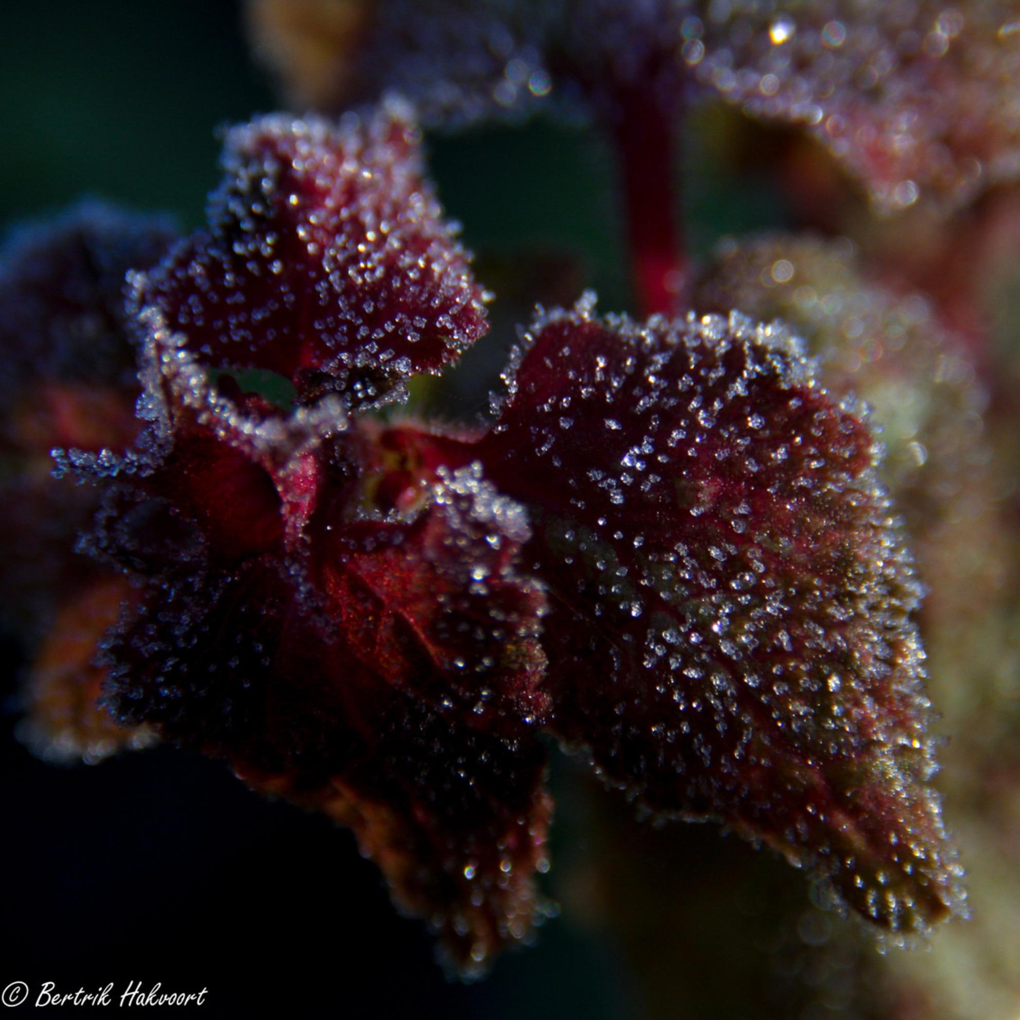 Kristal - De rijp van vanmorgen op de bladeren was prachtig en weelderig aanwezig. - foto door bertrikhakvoort op 03-12-2013 - deze foto bevat: rood, macro, rijp, kampen, vorst, kristal, kristallen