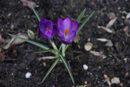 Krokusjes , kijken blij de wereld in - Iso 200 Diafragma 5.6 Sluitertijd 1/60 - foto door Tillyverploegen op 04-03-2021