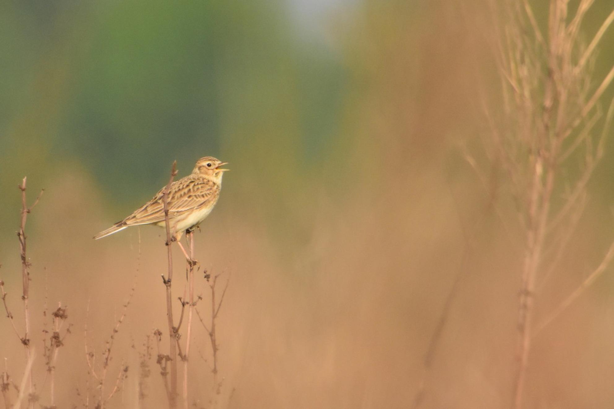 Veldleeuwerik - Het uitbundige gezang verraadde zijn plek. Vogels spotten in de Hemelrijkse Waard, waar ik compleet de tijd kan vergeten. - foto door Dieke Steeg op 29-04-2020 - deze foto bevat: groen, lente, natuur, licht, dieren, vogel, landschap, voorjaar, nederland, maas, leeuwerik, zangvogel, maasoever, veldleeuwerik - Deze foto mag gebruikt worden in een Zoom.nl publicatie