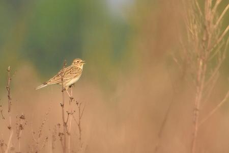 Veldleeuwerik - Het uitbundige gezang verraadde zijn plek. Vogels spotten in de Hemelrijkse Waard, waar ik compleet de tijd kan vergeten. - foto door Dieke Steeg op 29-04-2020 - deze foto bevat: groen, lente, natuur, licht, dieren, vogel, landschap, voorjaar, nederland, maas, leeuwerik, zangvogel, maasoever, veldleeuwerik