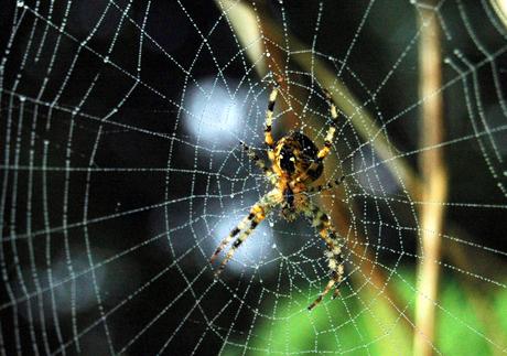 ochtend dauw op spinneweb