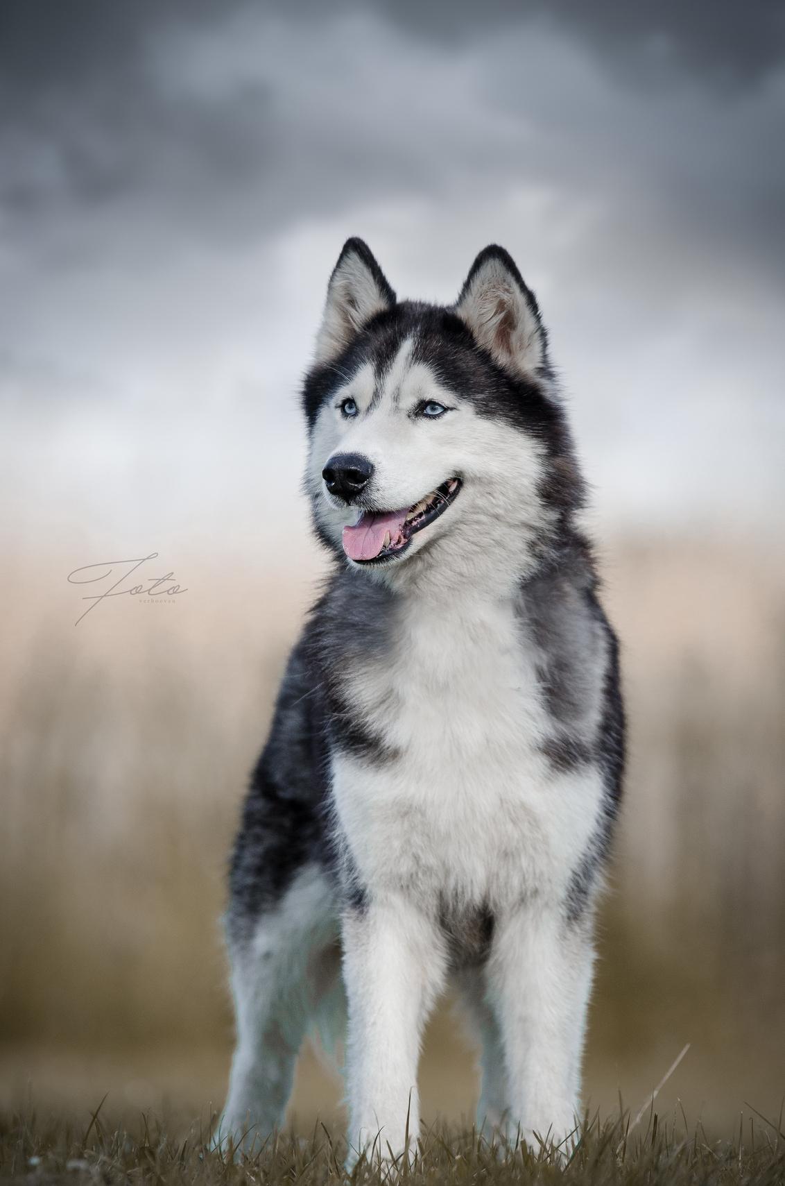 Silver - Een van de zes husky's van sledehondenteam Silver Linings. - foto door HannahV op 18-06-2017 - deze foto bevat: lucht, wolken, natuur, huisdier, hond, husky