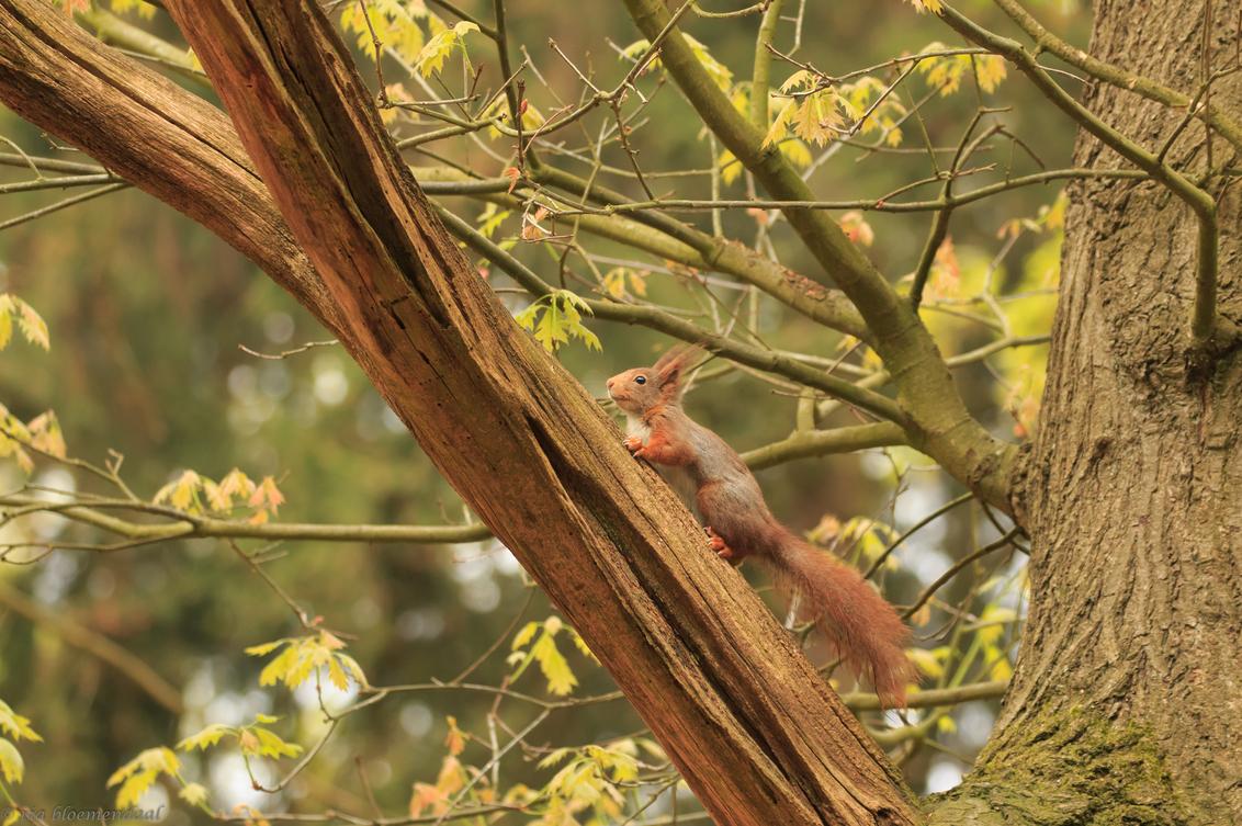 eekhoorn - nog maar eens een eekhoorn, omdat ze zo fotogeniek zijn. Bedankt voor jullie reacties op de vorige eekhoornfoto's. - foto door riabloemendaal op 01-05-2018 - deze foto bevat: eekhoorn