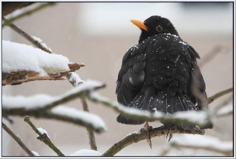 Merel in sneeuw