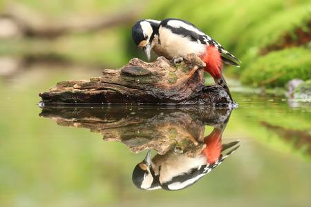 Grote bonte specht - Grote bonte specht. - foto door ErikV74 op 15-10-2020 - deze foto bevat: groen, boom, water, licht, herfst, blad, dieren, vogel, reflectie, bos, wildlife