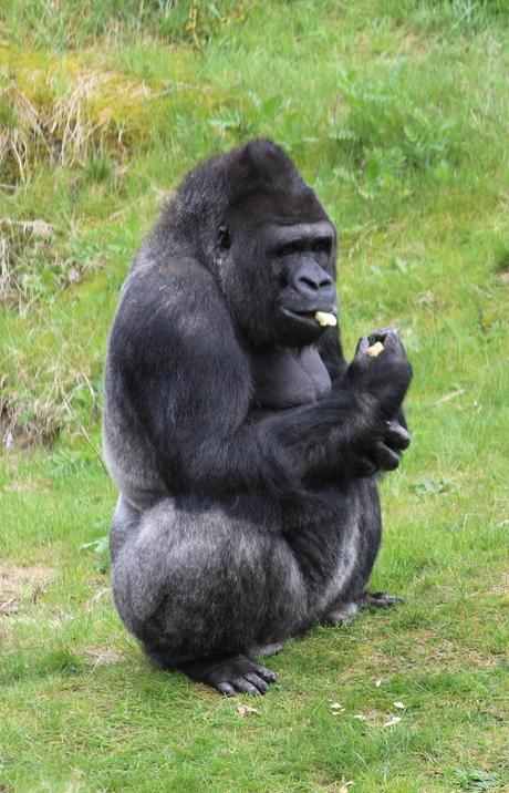 Gorilla Jambo