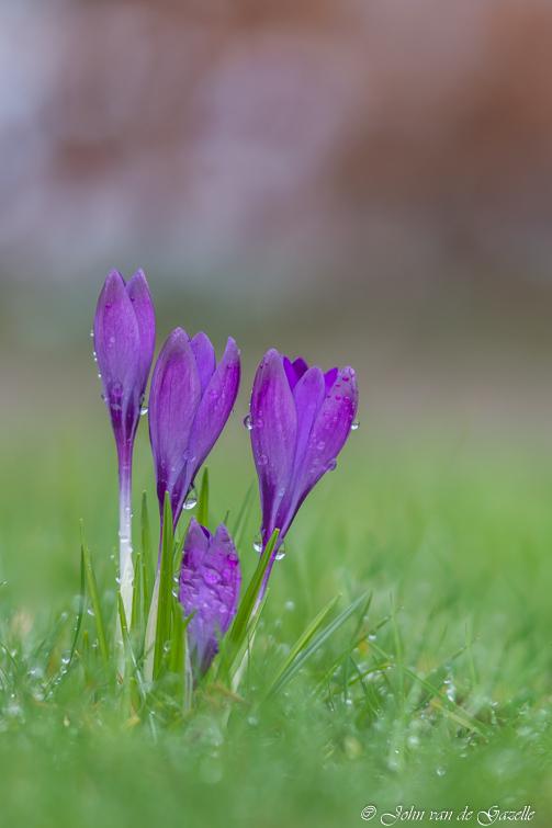 Paarse krokussen na een lente bui - Paarse krokussen na een lente bui.  Bedankt, voor jullie fijne reacties. Groet, John. - foto door JvandeGazelle op 08-03-2021 - deze foto bevat: groen, paars, macro, bloem, lente, natuur, druppel, geel, licht, regendruppels, voorjaar, lentebode, limburg, fotografie, brunssum, dof, krokussen, sfeervol, bokeh, werk aan de muur, wadm, john van de gazelle