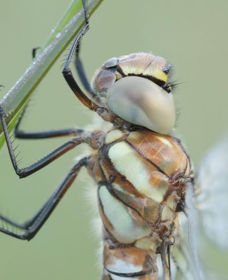 Close up van een kakelverse paardenbijter!