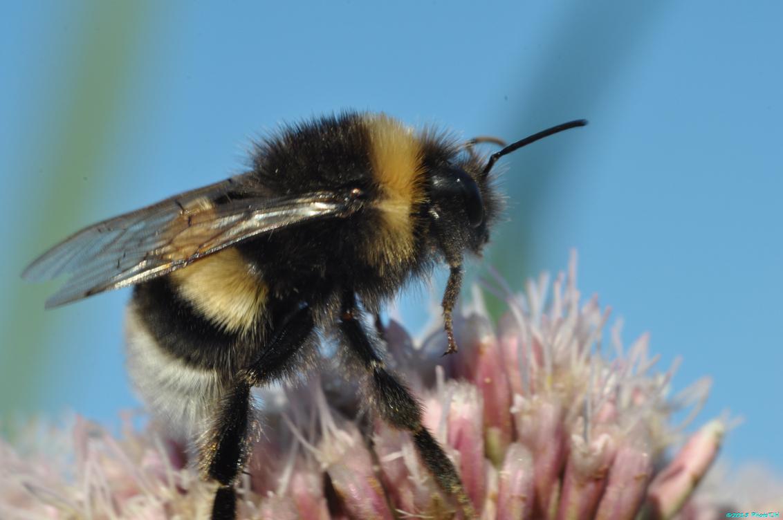 De bij aan zijn ontbijt. - - - foto door nl2tjh op 31-07-2015 - deze foto bevat: macro, zon, bloem, natuur, bij, zomer, bee, westzaan, Guisveld, phototjh, diy macrolens