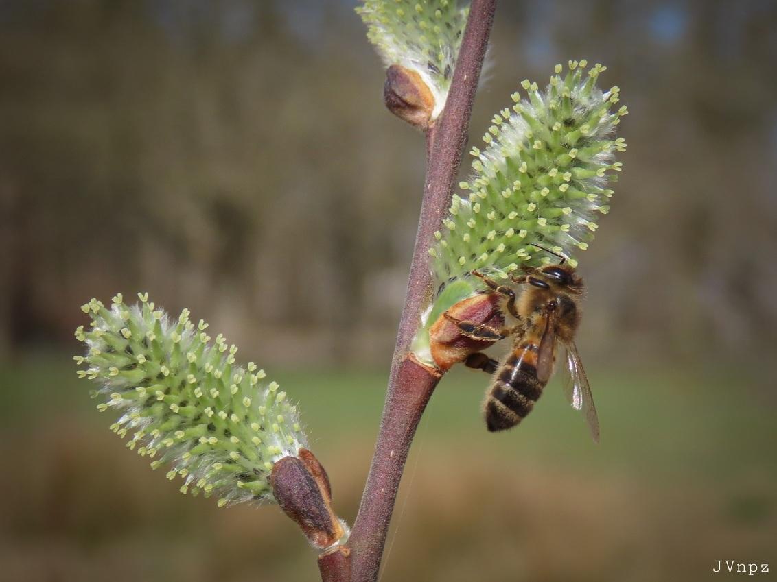 Honingbij - - - foto door Vissernpz op 01-04-2021 - deze foto bevat: boom, lente, bij, blad, dieren, voorjaar, insect, honing