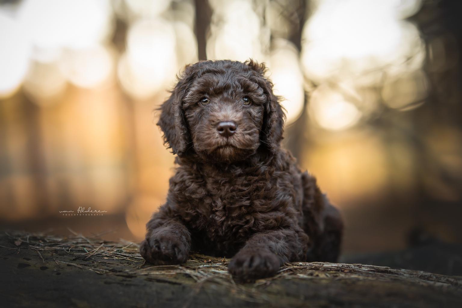 Labradoodle puppy - Portret van een Labradoodle puppy van 6,5 week oud. - foto door foscofotografie op 07-04-2021 - locatie: Kaatsheuvel, Nederland - deze foto bevat: hond, puppy, honden, dieren, hondenfotografie, dierenfotografie, portret, bokeh, bollen, zonsondergang, schattig, lief, tegenlicht, canon, sigma, hond, wolk, waterhond, carnivoor, lucht, spaniël, metgezel hond, hondenras, speelgoed hond, snuit
