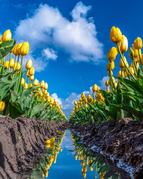 Tulpen in reflectie